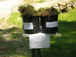 Free Phlox-sm