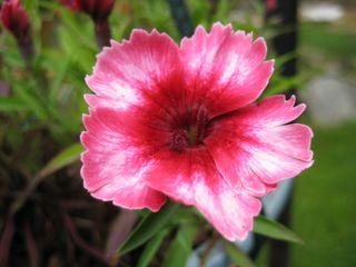 Strawberry Swirl Dianthus