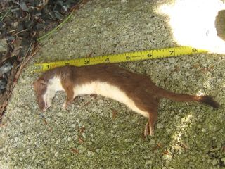 Weasel 2