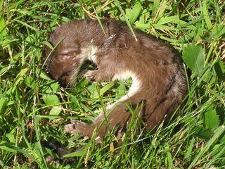 Weasel 1