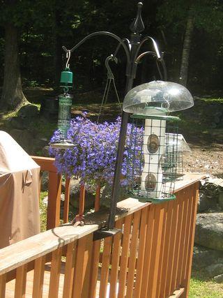 Purple Finch 1