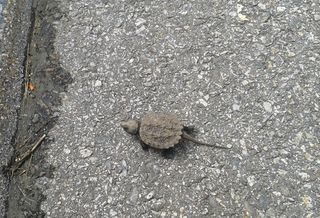 Snapping Turtle-sm