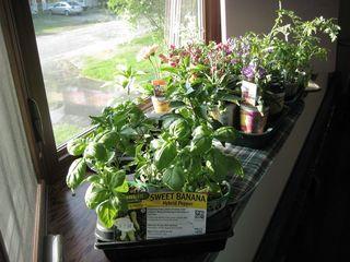 Seedlings in for frost warning