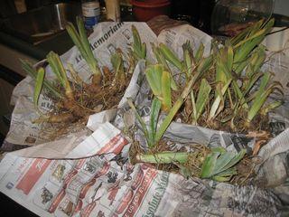 Irises from Mom