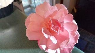 Last Rose 10-16 Queen Elizabeth