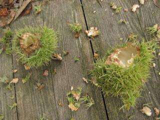 Chestnuts 1
