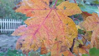 Autumn Blaze maple leaf 10-15-17