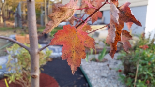 Autumn Blaze maple leaf 10-15-17