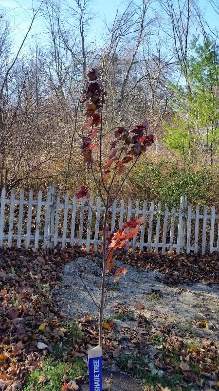 October Glory tree 11-11-17