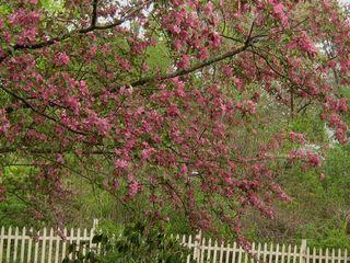 Craba apple flowers