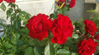 Europeana Rose