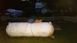 Yellow cat 1