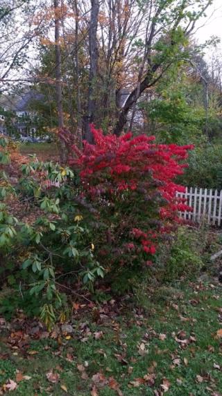 Burning bush 1trnd