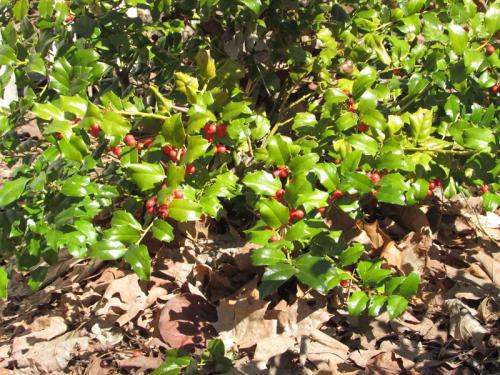 Holy berries 2