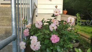 Easter Basket rose
