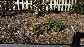 Bulbs coming up