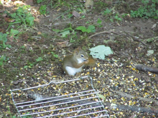 Gray and red squirrel 2