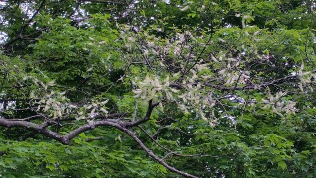 Black Cherry blooms