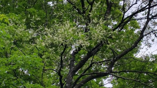 Black Cherry blooms2