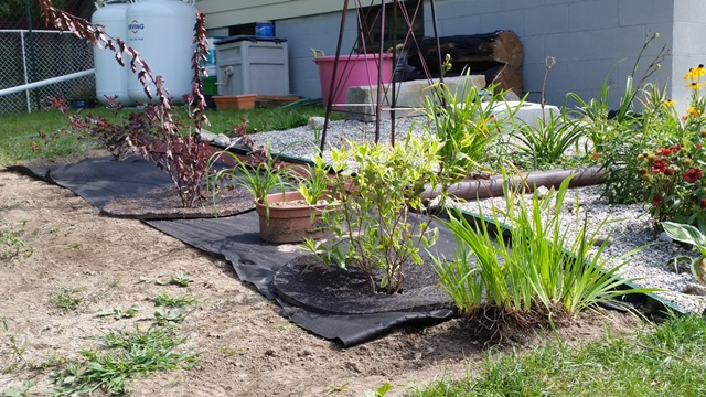 Ninebark-variagate wiegala and iris shrubs