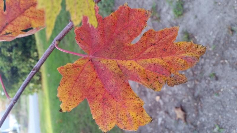 Autumn Blaze maple leaf2 10-15-17