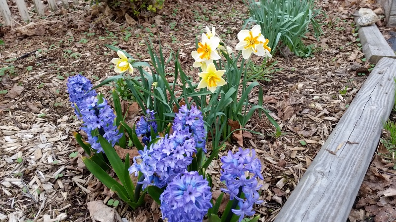 Dafs-hyacinth by fence