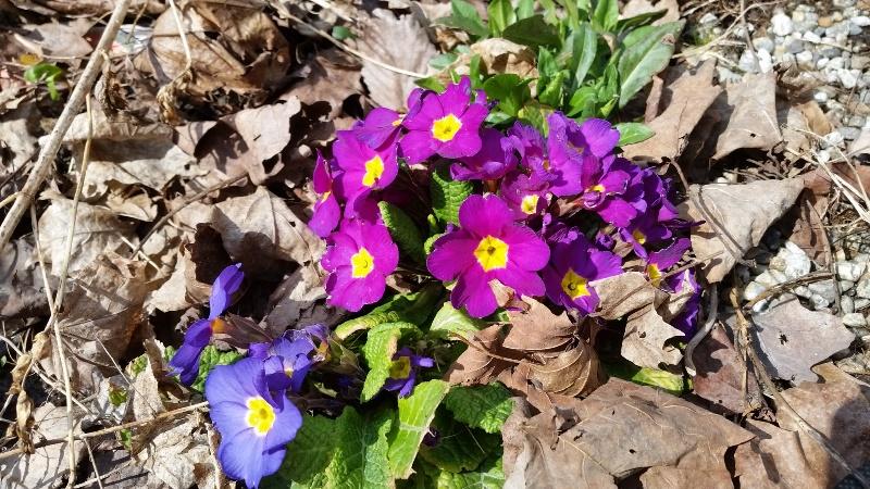 English primrose 4-28-18