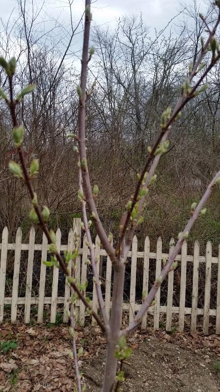 Leaf buds maple by ash
