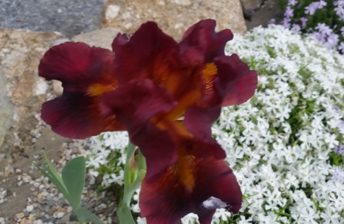 Red iris by driveway