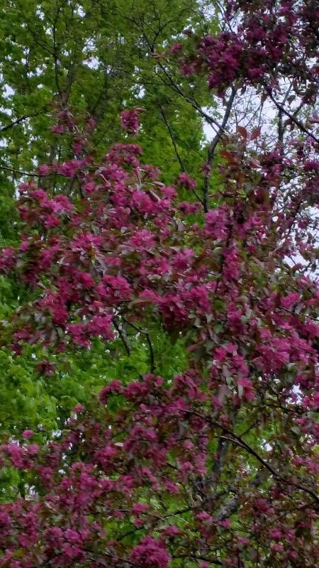 Crabapple bloom close