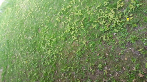 Maple seedlings in back yard