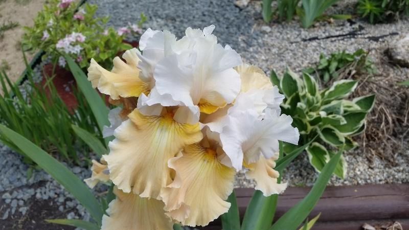 Cream and white irises