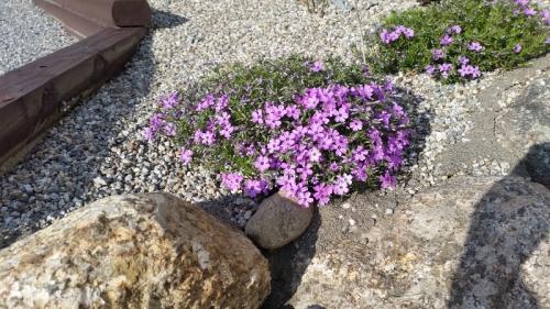 Phlox bloom 5-7-18