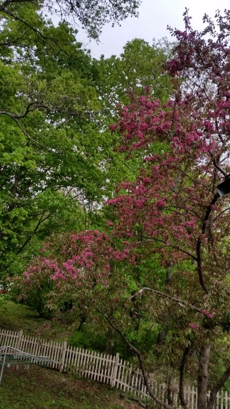 Crabapple bloom 1