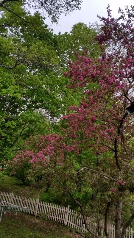Crabapple bloom 1
