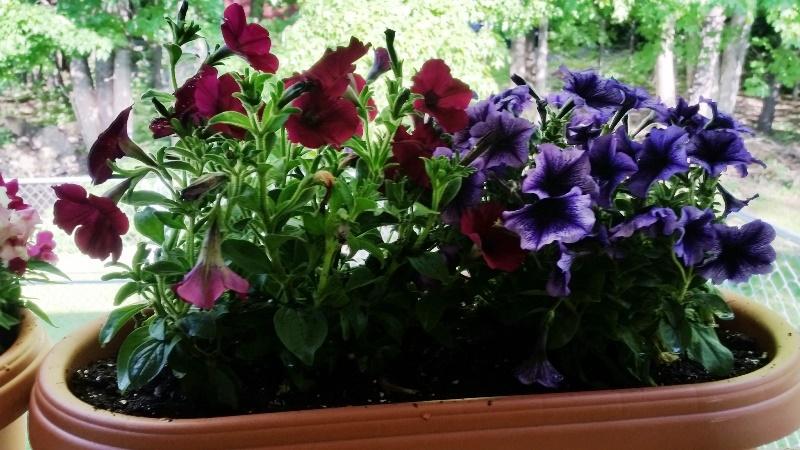 Petunias on back porch