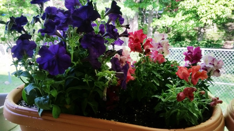 Snap dragons and petunias on back porch