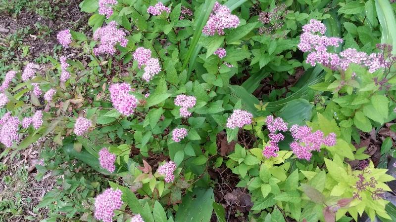 Spirea side garden