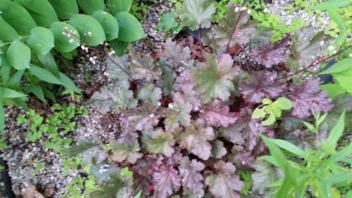Foxglove shade garden - planted