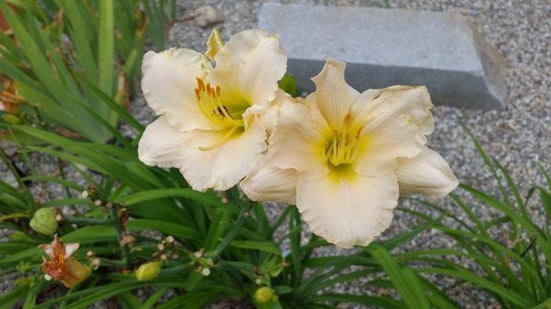 Light peach day lilies