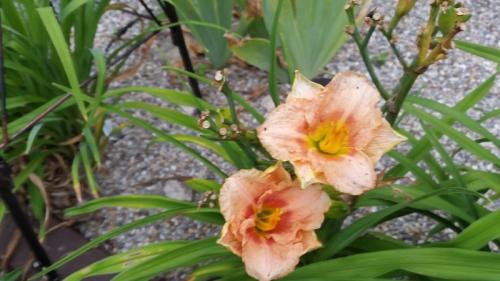 Dark peach day lilies