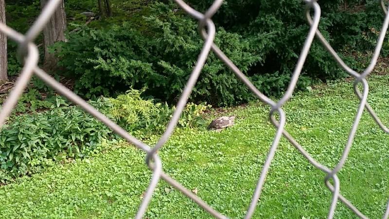 Turtle approaching evergreen bush