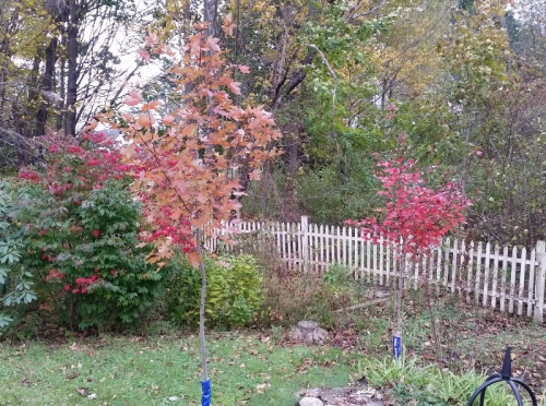 Maple tree comparison 10-21-18