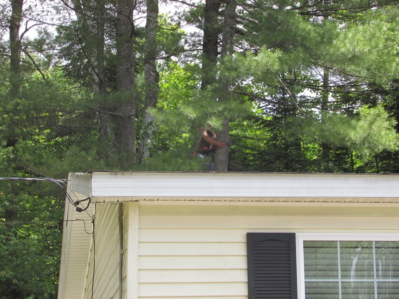 Scotty tree - just above roof