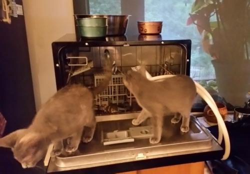 Dishwasher cats 1