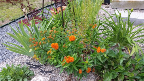 Butterfly weed driveway