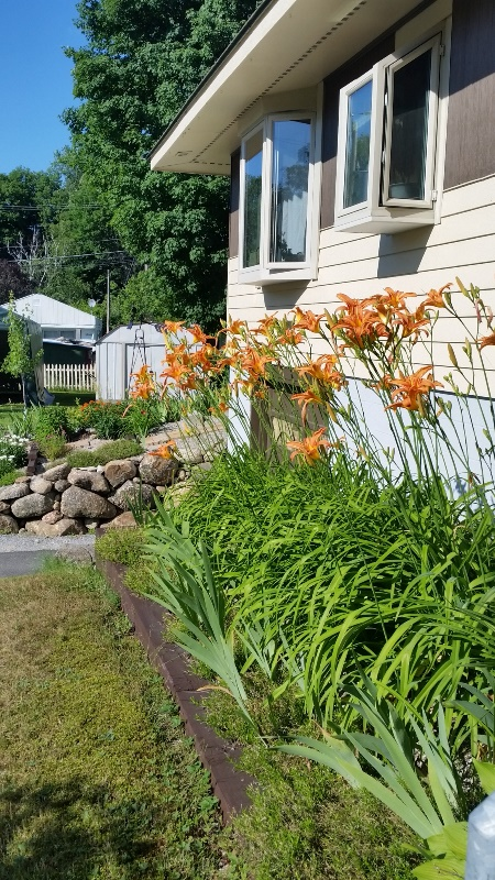 Daylilies along front of house