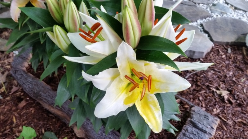 Sunny Azores lily