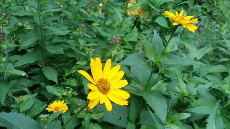 Yellow sunflower type
