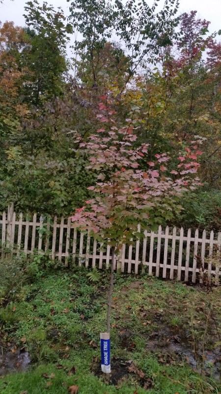 October glory  maple trnd10-7-18